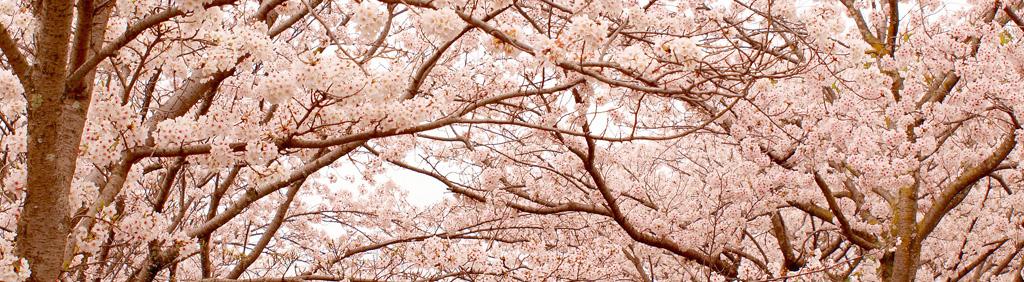 桜咲く、桜散る